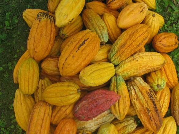 6 cacao pods