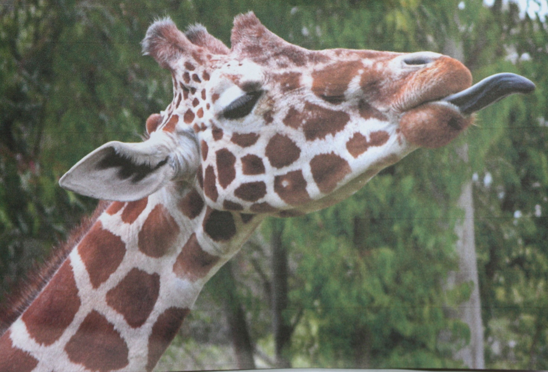 Giraffe image from Pixabay.com