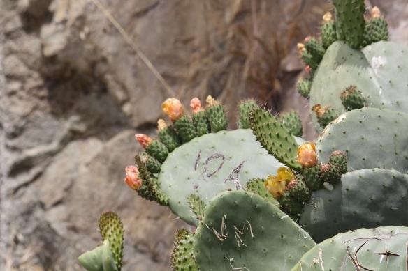 Prickly Pear cactus at Morro Rock