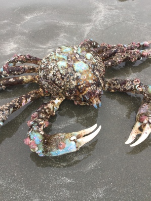 Spider Crab was up on the shore